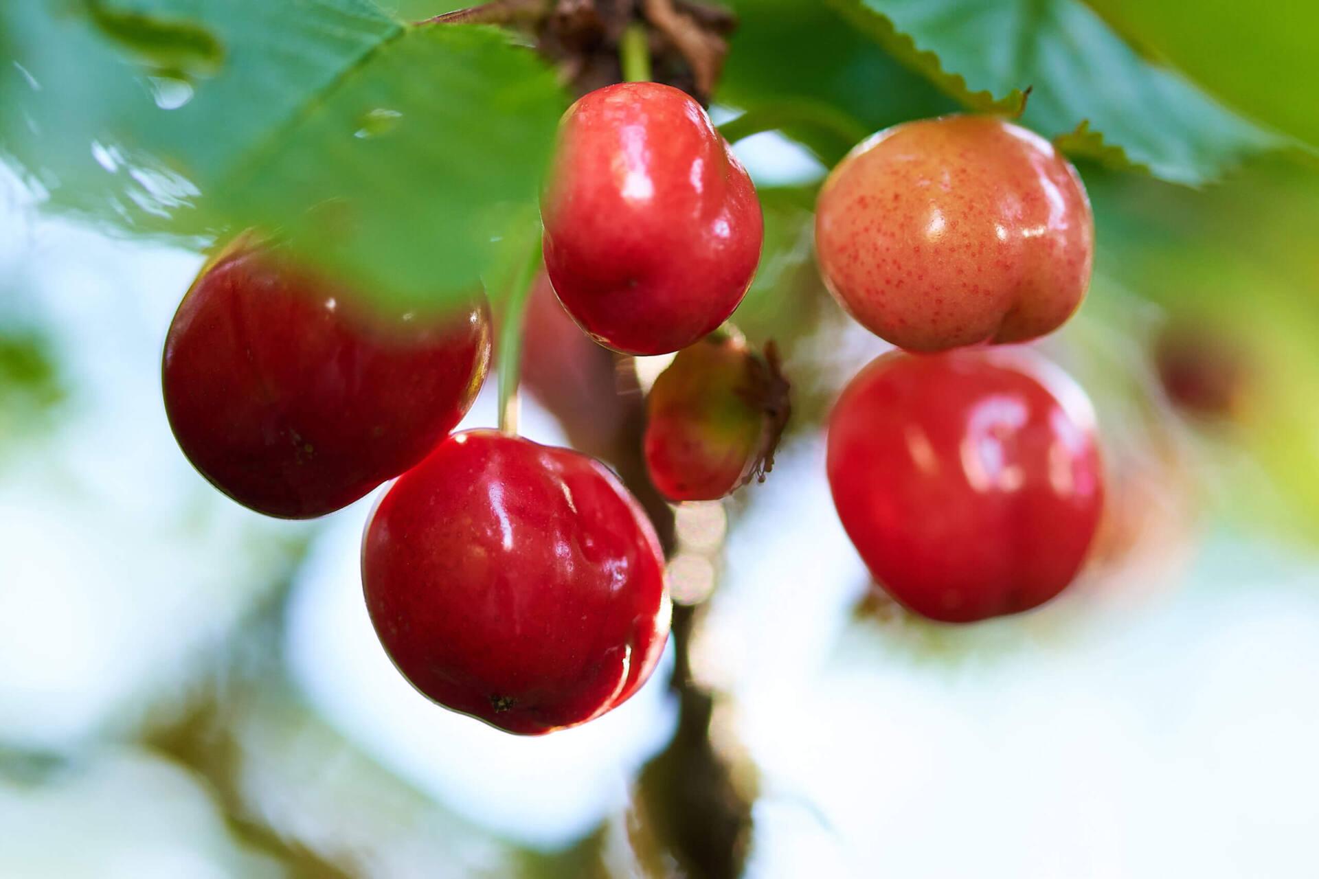 Cerises mûres sur cerisier